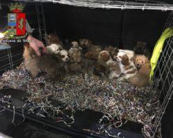 Pian del Voglio: cuccioli di razza nel bagagliaio di un'auto, la Polstrada denuncia due persone